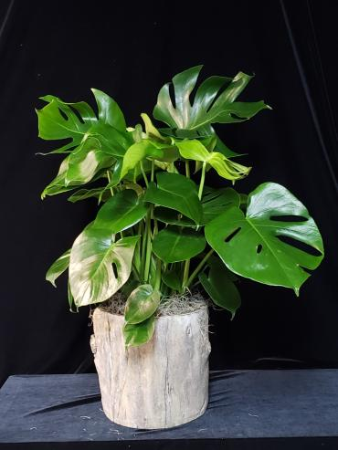 Swiss Cheese Philodendron in Stone Log