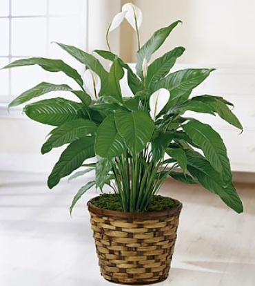 The Spathiphyllum Plant 10 inch