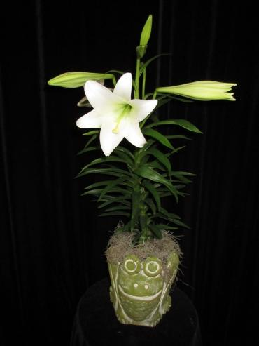Easter Lily in a Frog Clay Pot