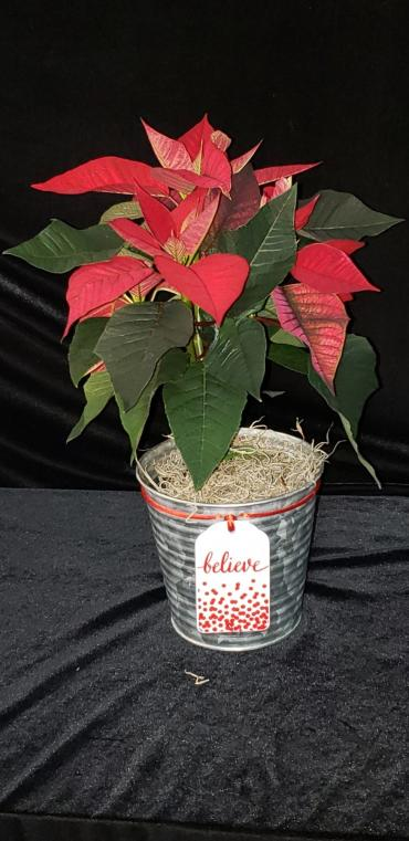 4 inch poinsettia in frosted tin