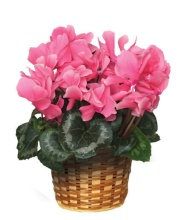 Blooming Cyclamen Plant