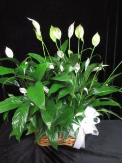 Double 8 inch Peace Lily basket