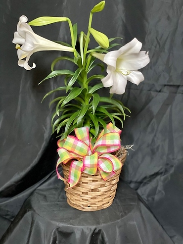 "Easter Lily in a 6"" pot"