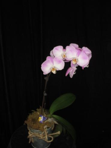 Orchid in Tin
