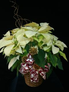 Dreaming of a White Christmas Poinsettia