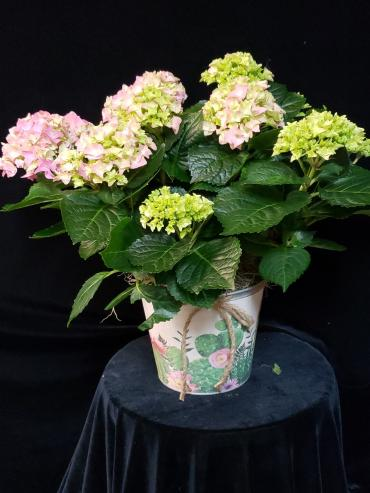 Hydrangea in decorative tin